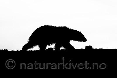 BB_20160719_0139 / Ursus maritimus / Isbjørn