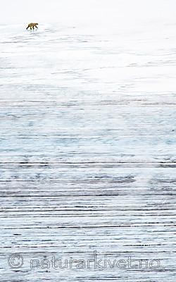 BB_20160720_0076 / Ursus maritimus / Isbjørn