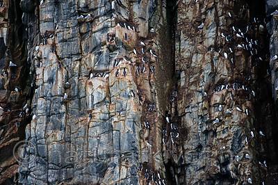 BB_20160721_0159 / Rissa tridactyla / Krykkje <br /> Uria lomvia / Polarlomvi