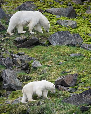BB_20160721_0328 / Ursus maritimus / Isbjørn