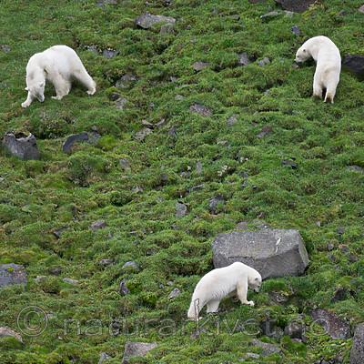 BB_20160721_0434 / Ursus maritimus / Isbjørn