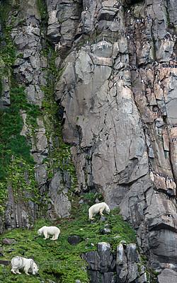 BB_20160721_0510 / Uria lomvia / Polarlomvi <br /> Ursus maritimus / Isbjørn