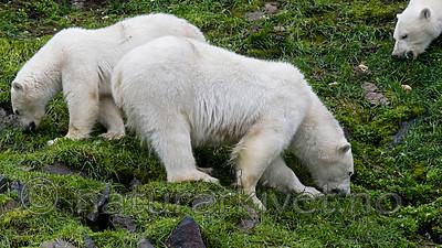 BB_20160721_0518 / Ursus maritimus / Isbjørn