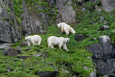 BB_20160721_0528 / Ursus maritimus / Isbjørn