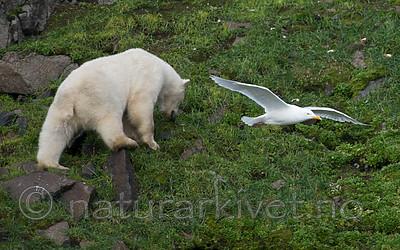 BB_20160722_0568 / Larus hyperboreus / Polarmåke <br /> Ursus maritimus / Isbjørn