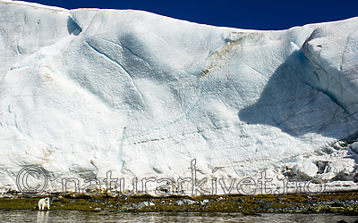 BB_20160723_0331 / Ursus maritimus / Isbjørn