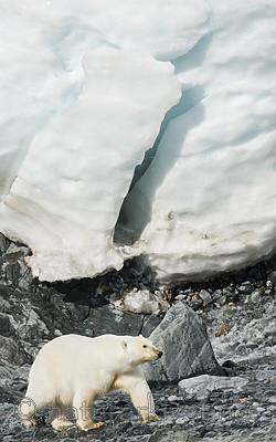 BB_20160723_0377 / Ursus maritimus / Isbjørn