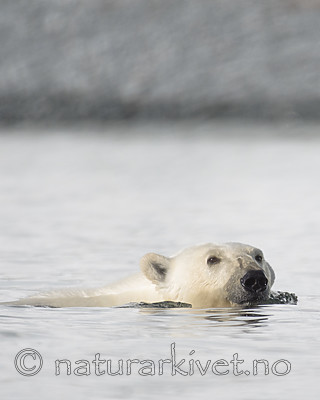 BB_20160723_0415 / Ursus maritimus / Isbjørn