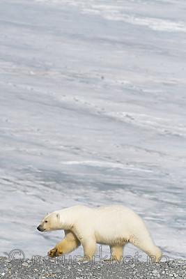 BB_20160723_0689 / Ursus maritimus / Isbjørn