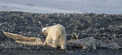 BB_20160723_0794 / Ursus maritimus / Isbjørn