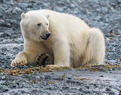 BB_20160724_0047 / Ursus maritimus / Isbjørn
