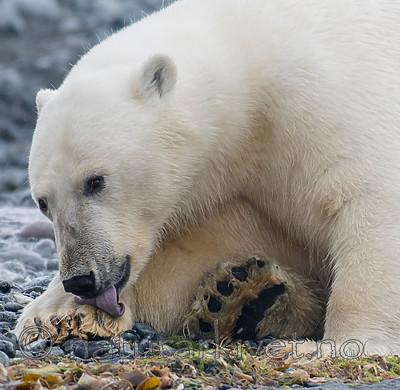 BB_20160724_0069 / Ursus maritimus / Isbjørn