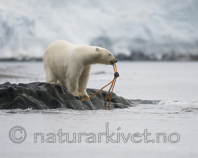 BB_20160724_0131 / Ursus maritimus / Isbjørn
