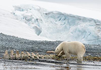 BB_20160724_0161 / Ursus maritimus / Isbjørn