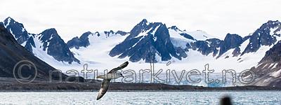 BB_20160726_0034 / Fulmarus glacialis / Havhest