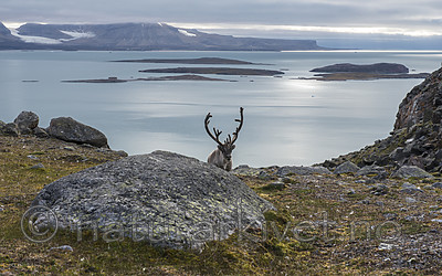BB_20160726_0443 / Rangifer tarandus platyrhynchus / Svalbardrein