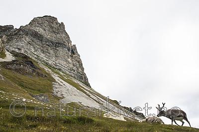 BB_20160728_0061 / Rangifer tarandus platyrhynchus / Svalbardrein