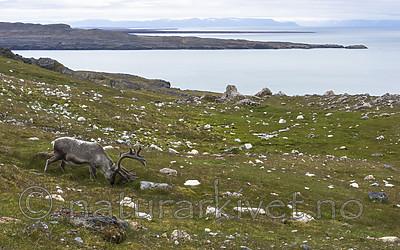 BB_20160728_0069 / Rangifer tarandus platyrhynchus / Svalbardrein