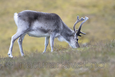 BB_20160728_0088 / Rangifer tarandus platyrhynchus / Svalbardrein