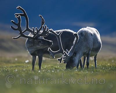 BB_20160729_0073 / Rangifer tarandus platyrhynchus / Svalbardrein