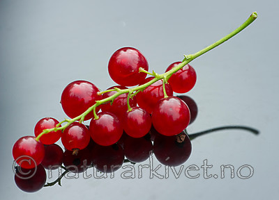 BB_20160807_0017 / Ribes rubrum / Hagerips