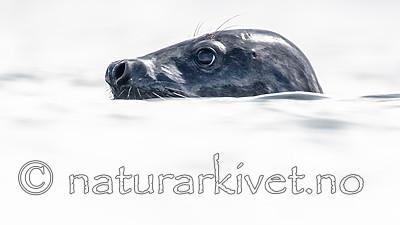 BB_20160821_0414 / Halichoerus grypus / Havert
