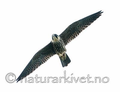 BB_20160830_0244 / Falco subbuteo / Lerkefalk