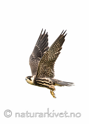 BB_20160830_0523 / Falco subbuteo / Lerkefalk