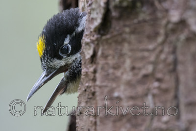 BB_20170615_0208 / Picoides tridactylus / Tretåspett
