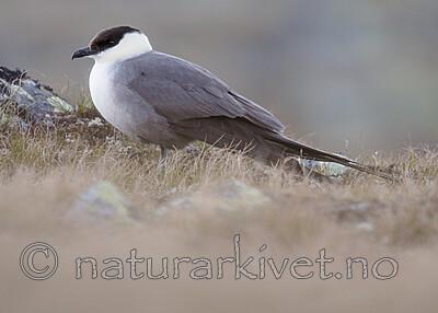 BB_20170626_0369 / Stercorarius longicaudus / Fjelljo