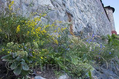 BB_20170703_0048 / Astragalus frigidus / Gulmjelt <br /> Campanula rotundifolia / Blåklokke <br /> Galium verum / Gulmaure <br /> Hylotelephium maximum / Smørbukk