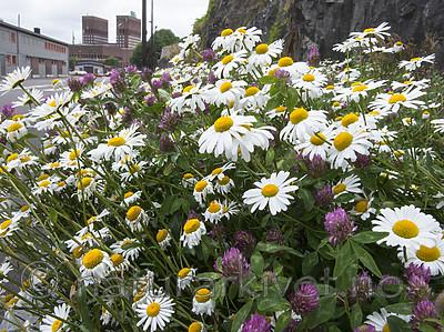 BB_20170707_0006 / Leucanthemum vulgare / Prestekrage <br /> Trifolium pratense / Rødkløver