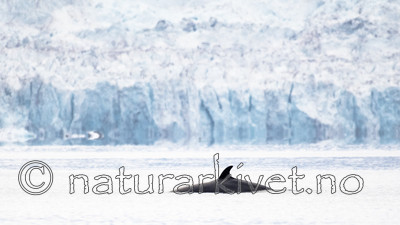 BB_20170806_0470 / Balaenoptera acutorostrata / Vågehval
