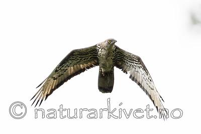 BB_20170819_0147 / Pernis apivorus / Vepsevåk