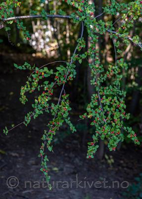 BB_20170918_0088 / Cotoneaster dielsianus / Dielsmispel