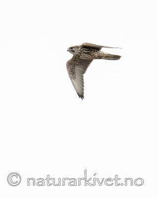 BB_20170924_1076 / Falco rusticolus / Jaktfalk
