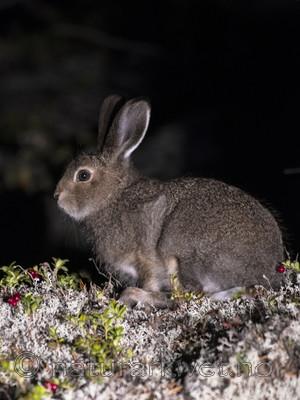 BB_20170924_1846 / Lepus timidus / Hare <br /> Vaccinium vitis-idaea / Tyttebær
