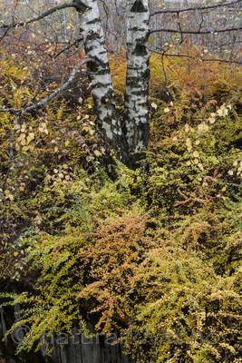 BB_20171031_0005 / Berberis thunbergii / Høstberberis <br /> Betula pendula / Hengebjørk