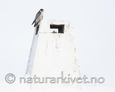BB_20180121_0071 / Falco peregrinus / Vandrefalk