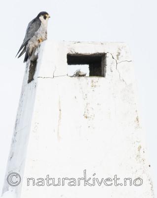BB_20180121_0073 / Falco peregrinus / Vandrefalk