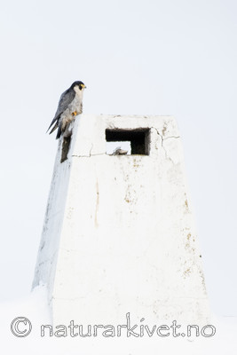 BB_20180121_0074 / Falco peregrinus / Vandrefalk