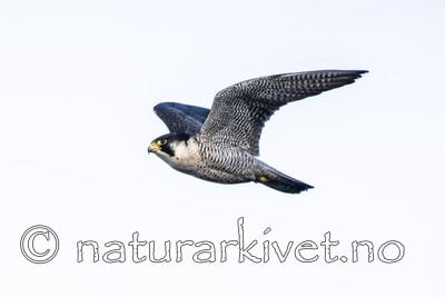 BB_20180121_0142 / Falco peregrinus / Vandrefalk