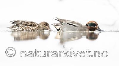 BB_20180219_0440 / Anas crecca / Krikkand