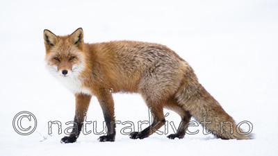 BB_20180219_1654 / Vulpes vulpes / Rødrev