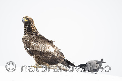 BB_20180227_1203 / Aquila chrysaetos / Kongeørn <br /> Corvus cornix / Kråke