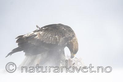 BB_20180227_1457 / Aquila chrysaetos / Kongeørn