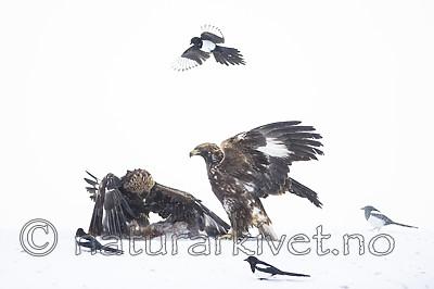 BB_20180227_1659 / Aquila chrysaetos / Kongeørn <br /> Pica pica / Skjære