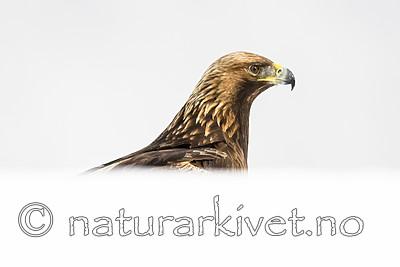 BB_20180227_2187 / Aquila chrysaetos / Kongeørn