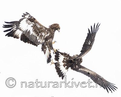 BB_20180227_3615 / Aquila chrysaetos / Kongeørn
