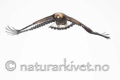 BB_20180228_0499 / Aquila chrysaetos / Kongeørn